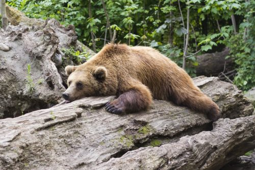 休みのクマ